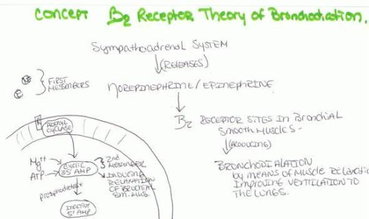 b2 receptor theory bronchodilation (Large)